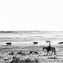 ranch life, cattle herd, cattle ranch, contemporary cowboys, cowboys work, cattle ranching